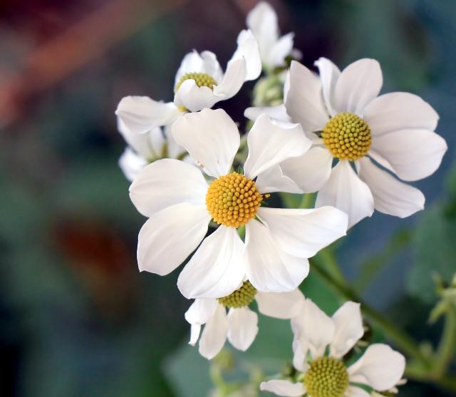 Montanoa hibiscifolia Benth. Fleur.