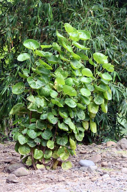 Polyscias scutellaria. La moque, aralia de Balfour