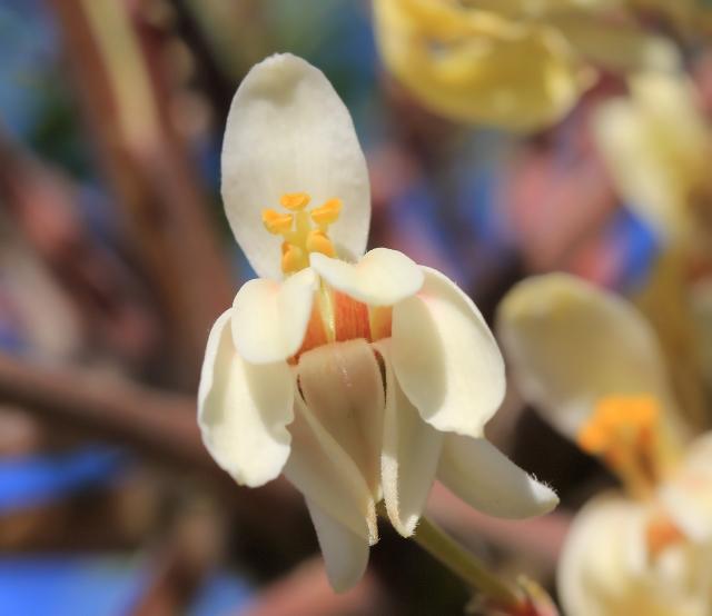 Moringa oleifera, fleur.