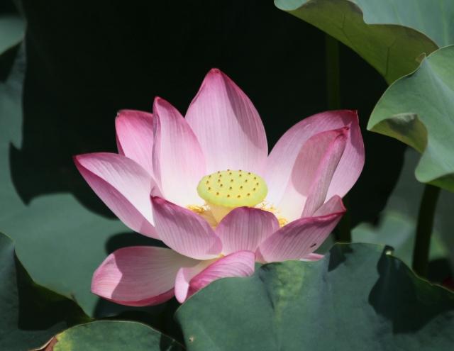Fleur : Nelumbo nucifera Gaertn.