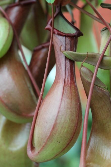 Nepenthes alata : urne.