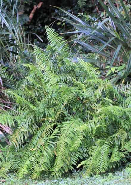 Nephrolepis biserrata (Sw.) Schott.