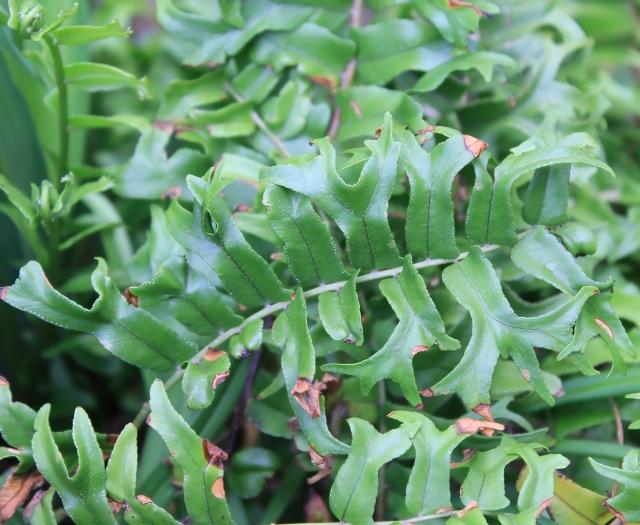 Nephrolepis falcata (Cav.) C. Chr.