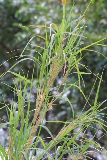 Neyraudia reynaudiana (Kunth) Keng ex Hitchc.