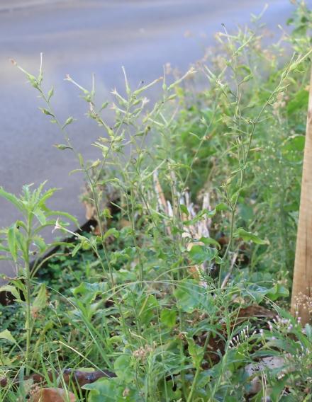 Nicotiana plumbaginifolia Viv.