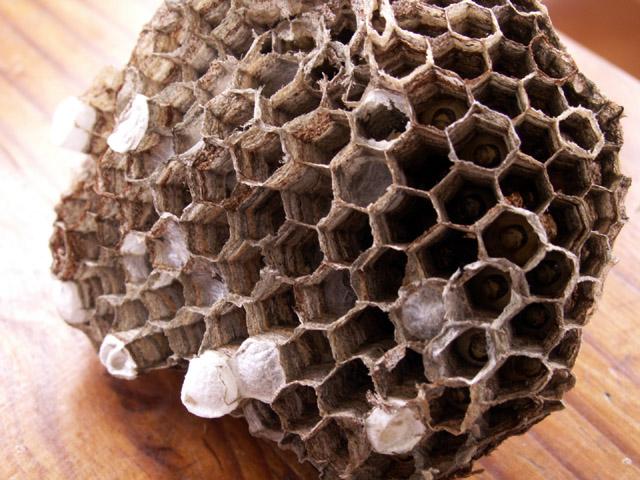 Photos photo gu pes - Enlever nid de guepe ...