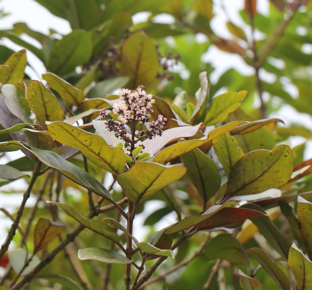 Nuxia verticillata Lam.