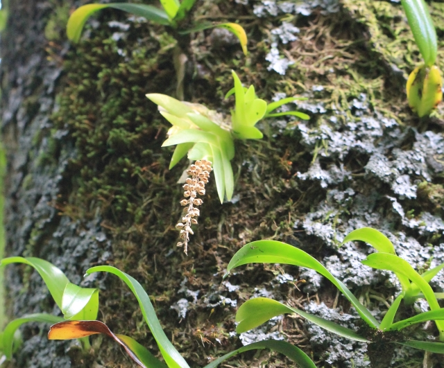 Oberonia disticha (Lam.) Schltr.