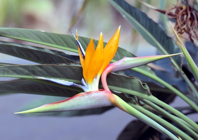 Strelitzia reginae Banks