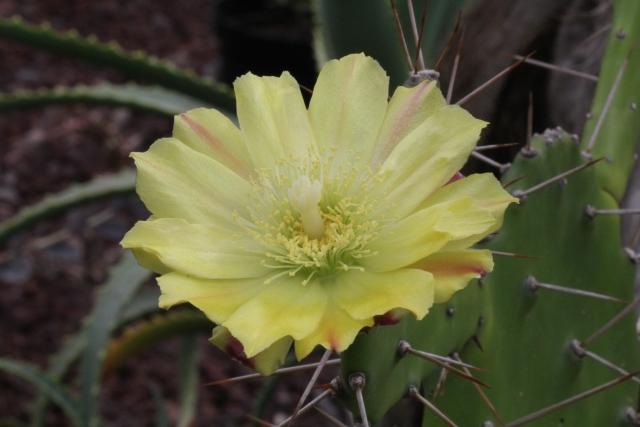 Opuntia ficus-indica. Fleur.