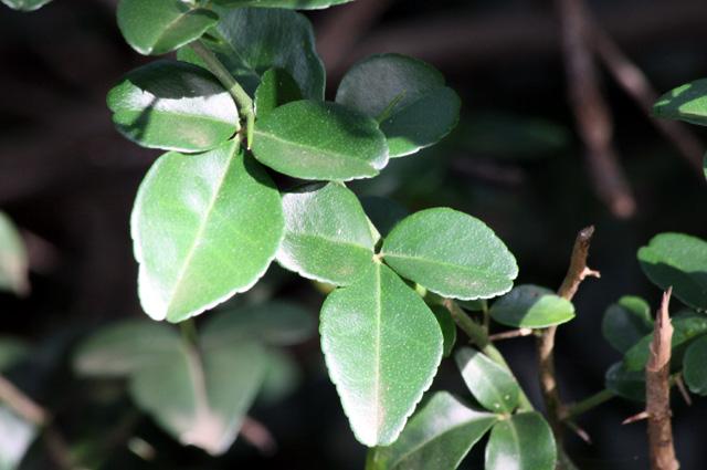 Feuilles : Triphasia trifoliata. Orangine