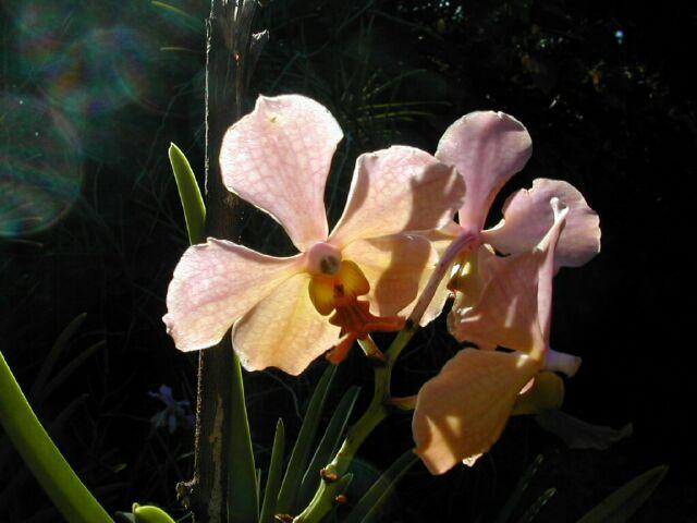 Orchidées de La Réunion
