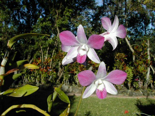 orchidee la reunion