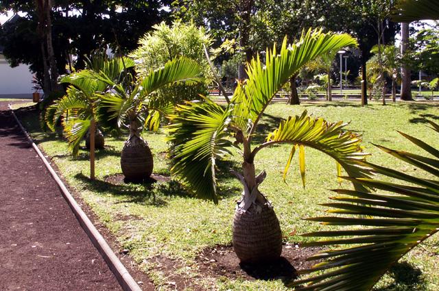 Palmier bouteille ou palmier bonbonne. Hyophorbe lagenicaulis.
