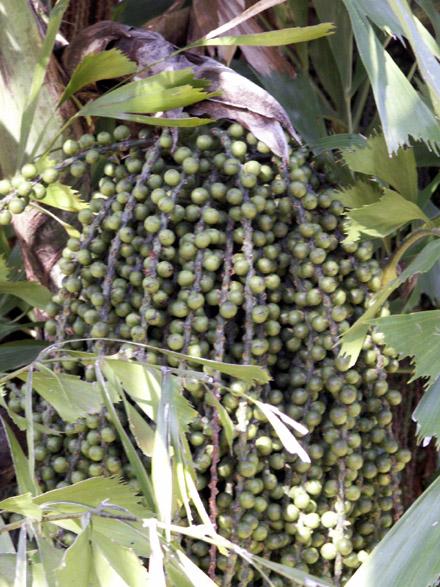 Palmier céleri multiple Palmier queue de poisson Caryota mitis Lour
