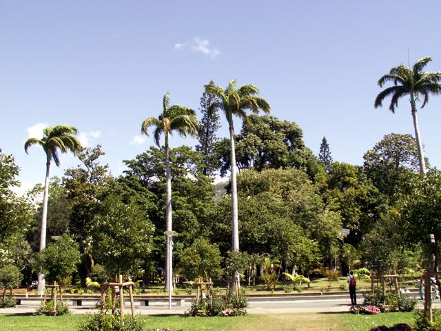 Palmier colonne ou Caraïbes Royal Palm. Roystonea oleracea