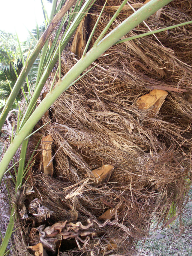 Palmier dattier : tronc