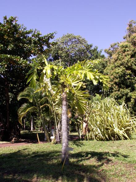 Aiphanes horrida (Jacq.) Burret. Palmier ébouriffé ou Ruffle palm.