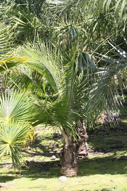Ravenea rivularis. Palmier majesté, majesty palm