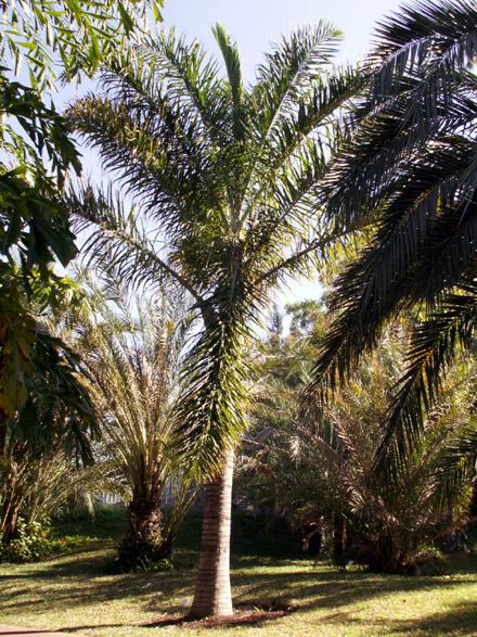 Palmier plume ou palmier de Madagascar Dypsis madagascariensis Flore île de La Réunion