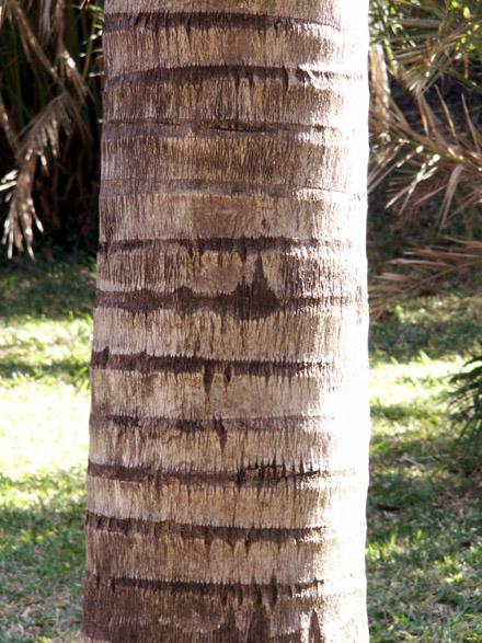 Palmier plume ou palmier de Madagascar Flore île de La Réunion