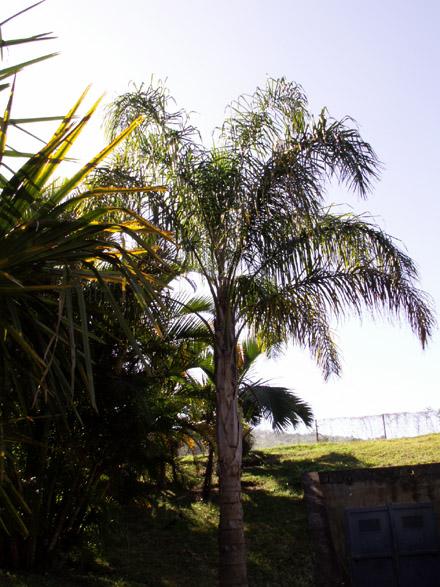 syagrus romanzoffiana palmier reine