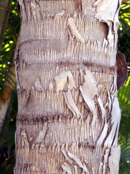 syagrus romanzoffiana palmier reine : stipe