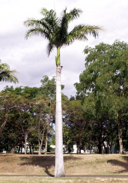 Palmier royal, Royal palm. Roystonea regia (Kunth) O.F.Cook.