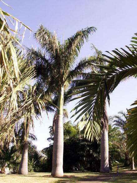 Palmier royal. Roystonea regia (Kunth) O.F.Cook.