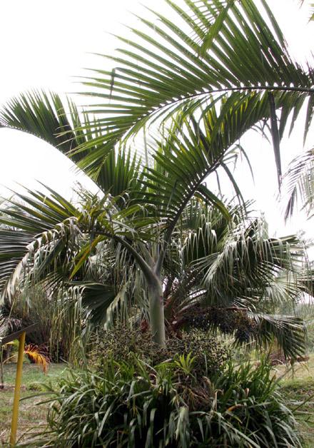 Hyophorbe indica, Palmiste poison, Palmiste cochon Endémique La Réunion