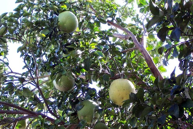 Pamplemoussier. Fruit : Pamplemousse. Citrus maxima