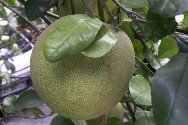 Fruit Pamplemousse. Citrus maxima