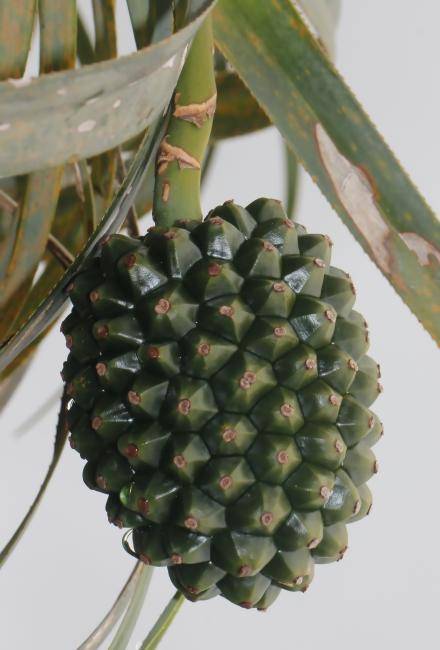 Fruit : Pandanus montanus Bory.
