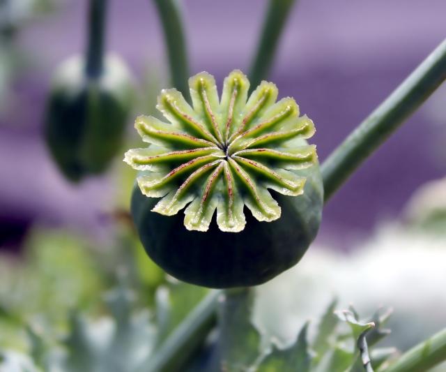 Papaver orientale L. Fruit.