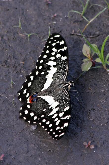 Papilio demodocus Voilier des citronniers