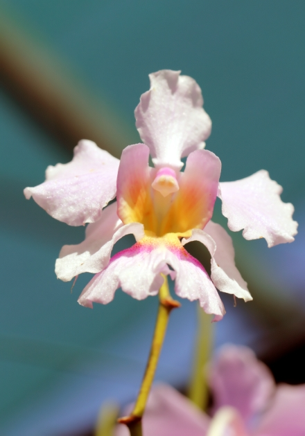 Papilionanthe Miss Joaquim. Orchidée hybride.