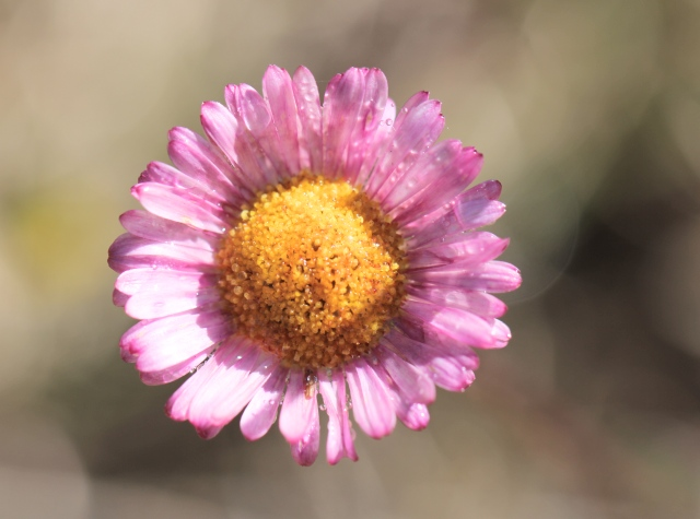 Fleur Marguerite folle. Erigeron karvinskianus.