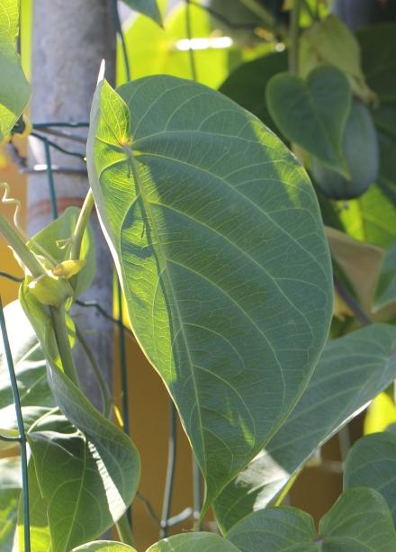 Passiflora maliformis. Feuilles.