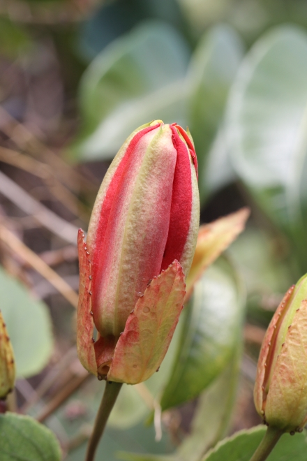 Bouton Passiflora miniata.