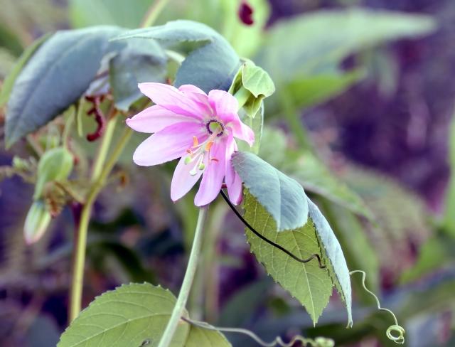 Passiflora tripartita (Juss.) Poir. var. mollissima.