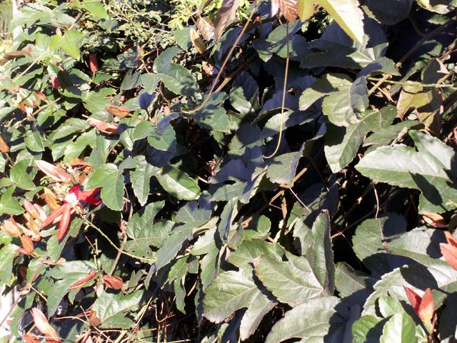 passiflore rouge ou passiflore feuilles de vigne flore le de la r union. Black Bedroom Furniture Sets. Home Design Ideas