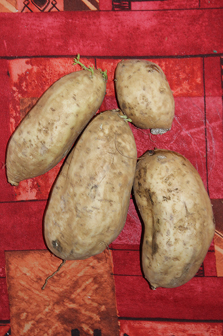 Patate douce. Ipomoea batatas.