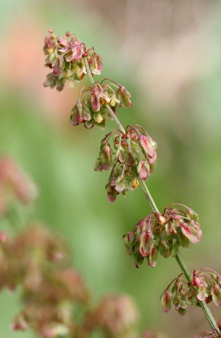 Fleurs Rumex crispus.
