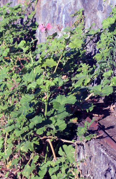 Pelargonium inquinans (L.) Aiton.