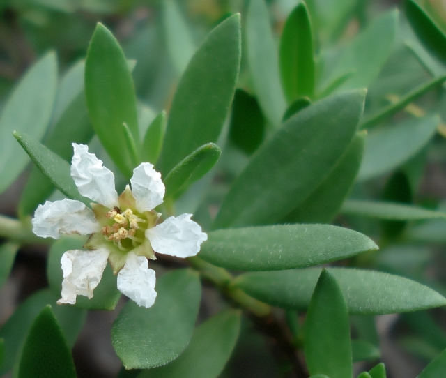 Fleur Pemphis acidula.