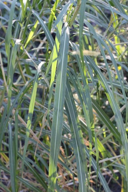 Pennisetum purpureum Schumach. Herbes à éléphants