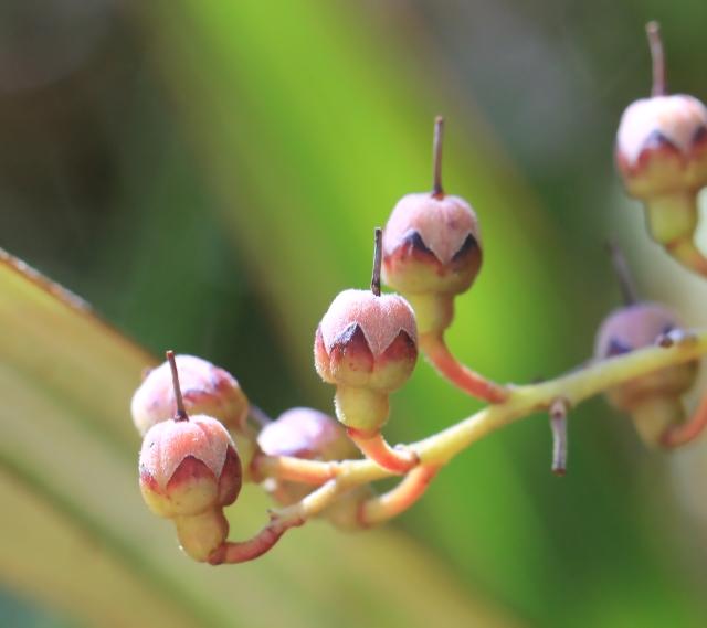 Petit bois de rempart - Agarista buxifolia flore indigène La Réunion