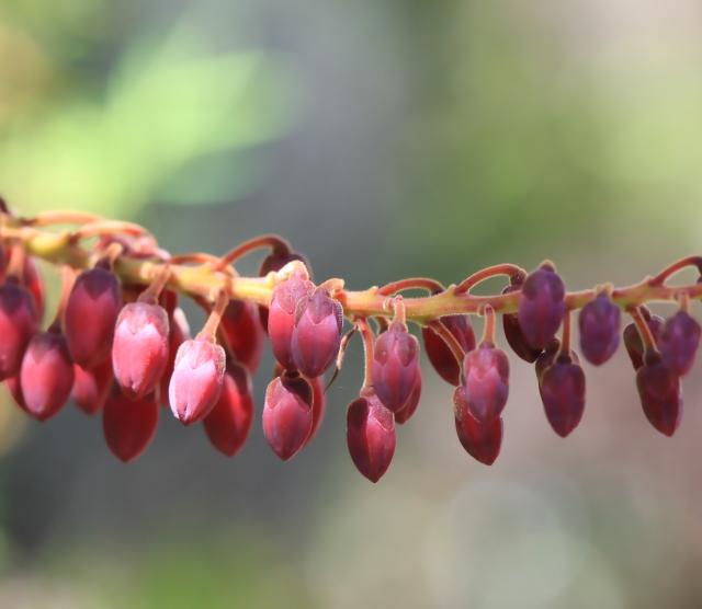 Petit bois de rempart - Agarista buxifolia.