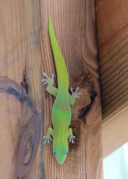 Phelsuma laticauda (Boettger, 1880), Gecko vert à trois tâches rouges, Gecko diurne poussière-d'or