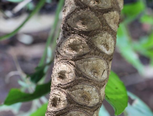 Philodendron bipinnatifidum Schott.